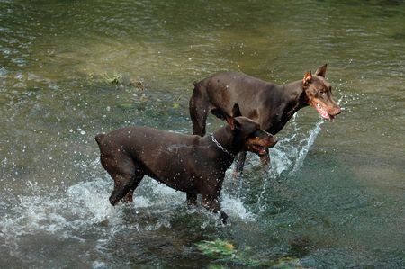 dobermans, water, dog, breed, brown photo