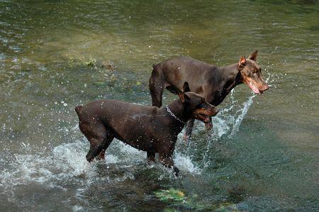 dobermans, water, dog, breed, brown photo