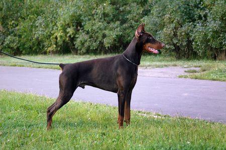 doberman, dog, breed, brown