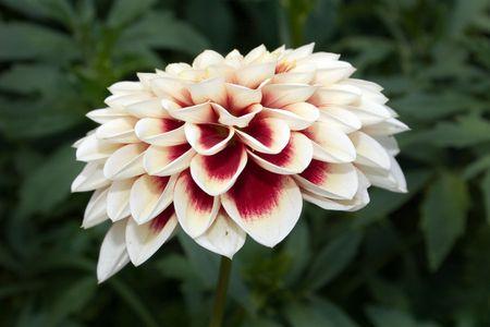 Dahlia, flower, summer Stock Photo - 2080960