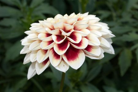 Dahlia, flower, summer Stock Photo - 2080960