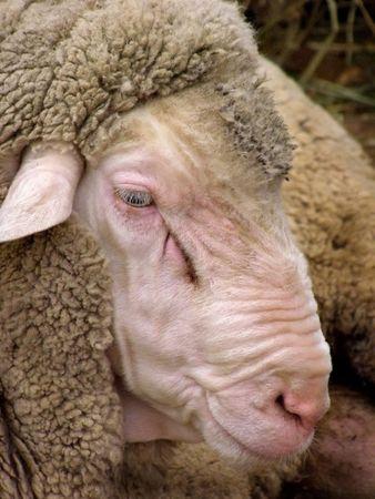 herding: sheep, lambs, cute