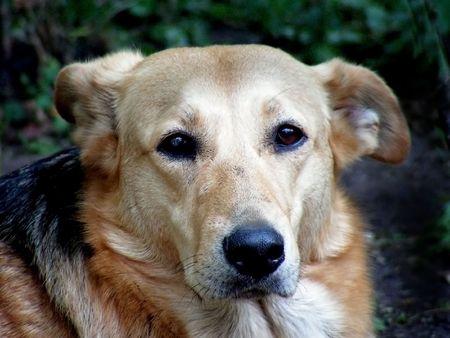 yaw: dog, retriever, yellow, friend Stock Photo