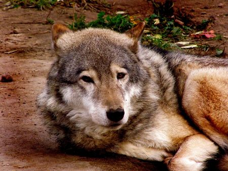 wolf, grey, wild mammal, a predator