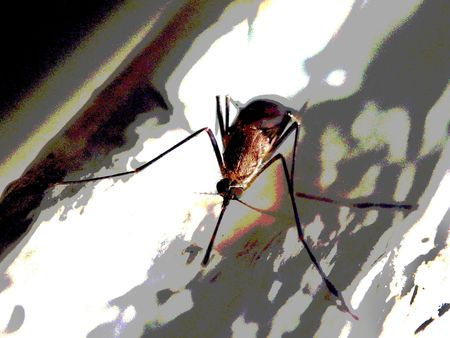 mosquito, wings, outdoors, blood Stock Photo - 2090610