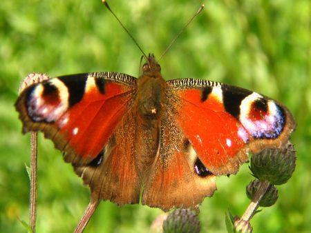 butterflies, floral, petal, macro
