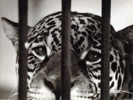 cruel zoo: a portrait of leopard is in the cage of the Moscow zoo Stock Photo