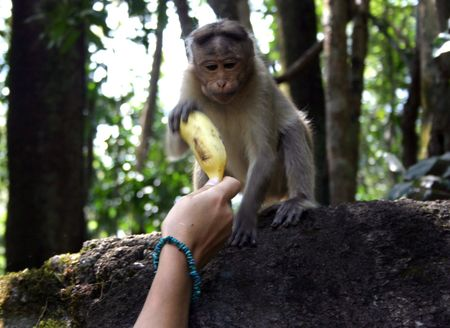 interrelation between the wild Indian monkeys and tourists