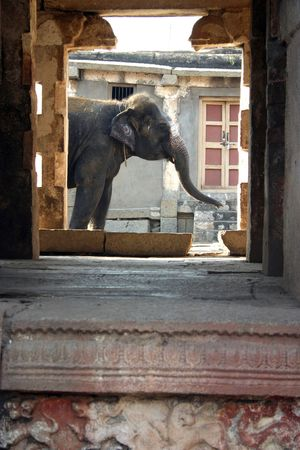 The Indian elephant is in opening of age-old hinduism temple