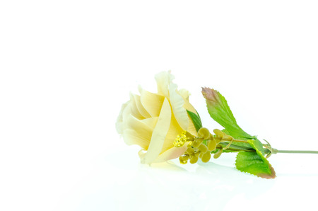 spurious: yellow roses on a white background