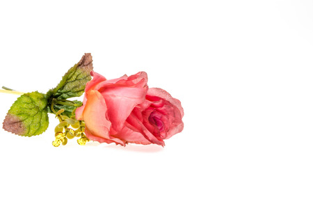 spurious: Pink rose on a white background Stock Photo
