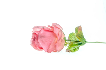 spurious: Pink roses on a white background