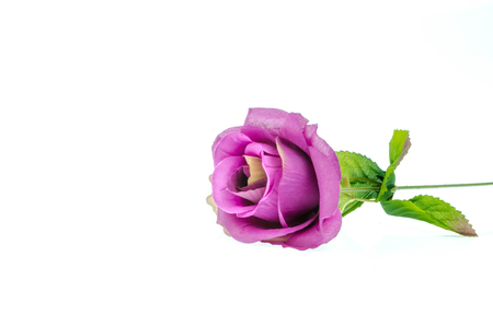 spurious: rose on a white background