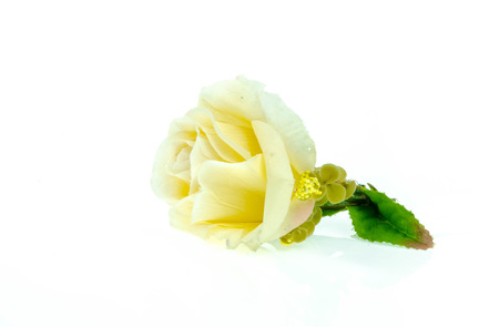 spurious: yellow rose on a white background