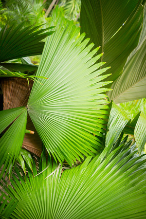 Groen palmblad in de tuin  zondag. Zomer