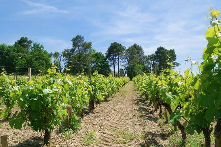 vine plantation photo