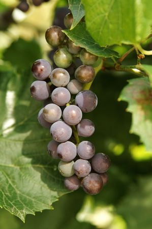 Bunch of grapes  Stock Photo - 6710757