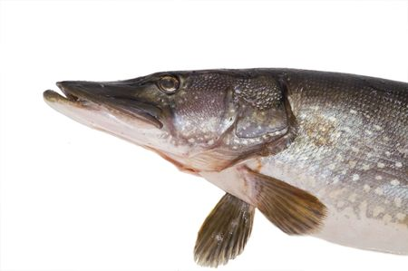 gills: pike; fish; head; close-up; isolated; fin; gills Stock Photo