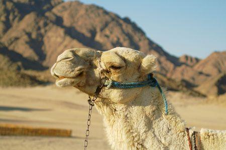 camel in desert photo