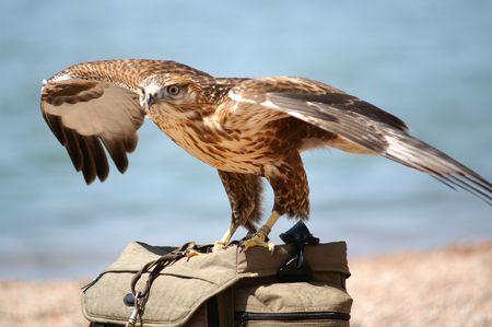 falcon: Falcon