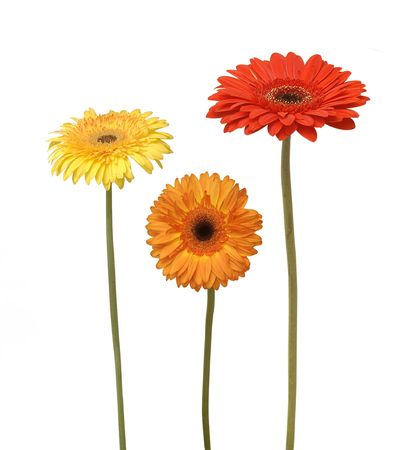three flowers isolated on white photo