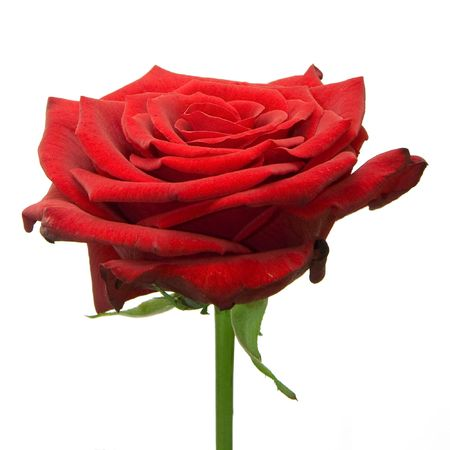 one red rose on white Stock Photo