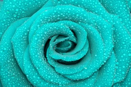velvety: one rose Stock Photo