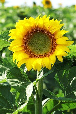 yellow; sunflower; flower; close-up; sun;  petal Stock Photo - 6716374