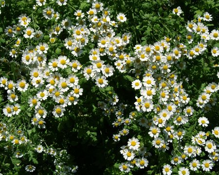 matricaria: Meadow flowers Stock Photo