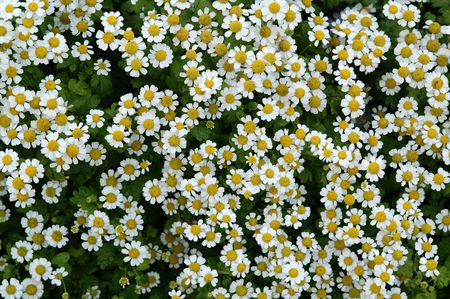 little flowers, meadow flowers, background, white petal , yellow Stock Photo - 6713596
