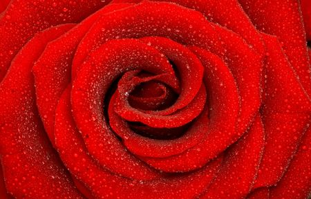 one beautiful rose, close-up, background photo