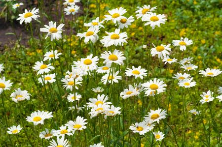 matricaria: field of white camomiles, outdoor Stock Photo