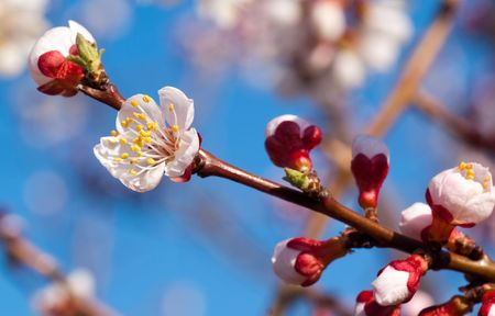 beautiful cherry tree on blue sky Stock Photo - 6714893