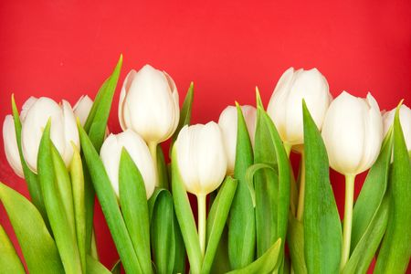 beautiful white tulips on red photo