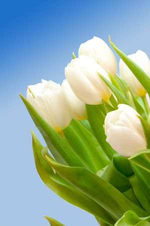 beautiful white tulips on blue photo