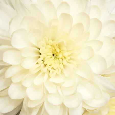 beautiful bouquet with  chrysanthemum, background Stock Photo - 6759295