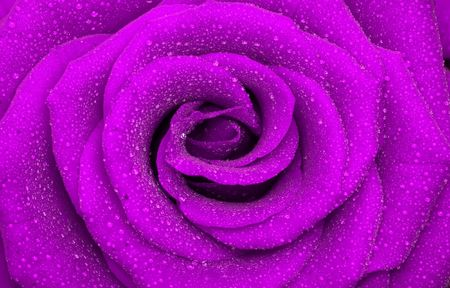 one beautiful rose, close-up, background