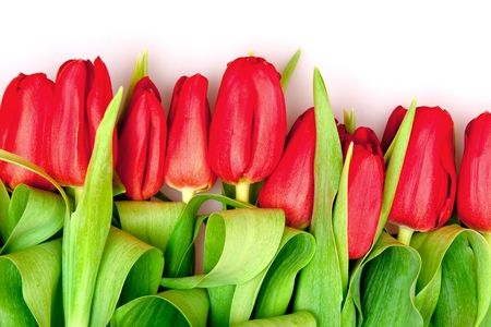 beautiful red tulips on white photo