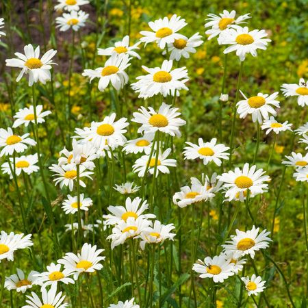 field of white camomiles, outdoor photo