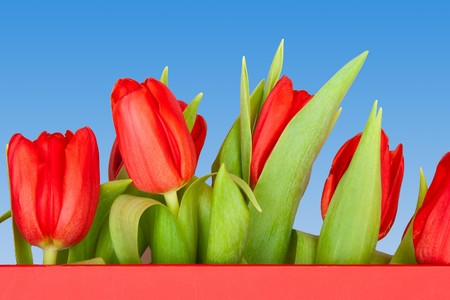 beautiful tulips on blue, red photo