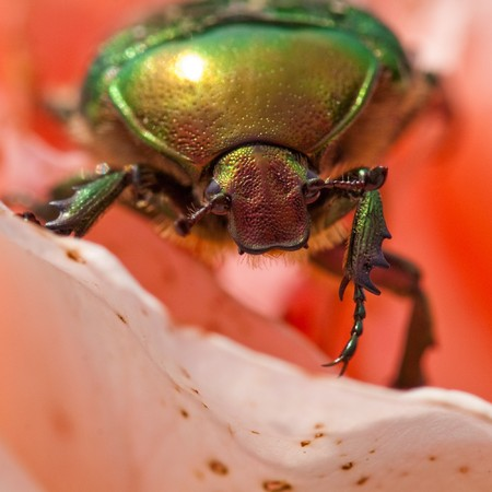 Cetonia aurata (rose chafer - beetle) photo
