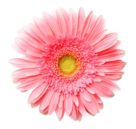 marguerite: daisy africaine (gerbera) isol�e sur blanc