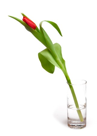one red tulip in glass photo
