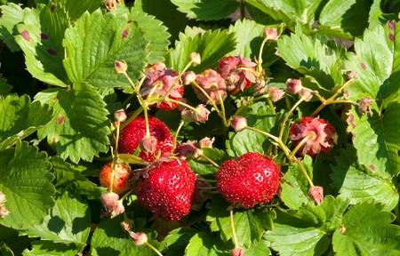 green bush of  red  strawberry photo