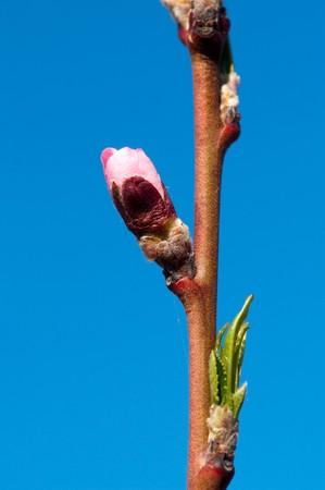 apricot tree: beautiful cherry tree on blue sky Stock Photo
