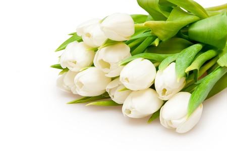 beautiful white tulips on white photo