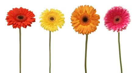 four flowers isolated on white photo