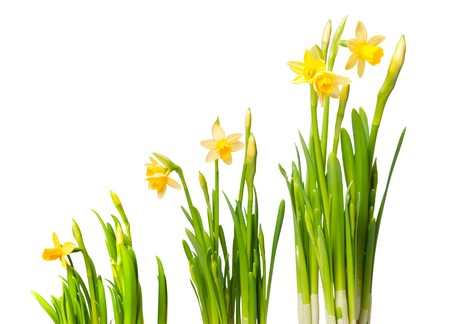 lent lily (daffodil) isolated on white photo