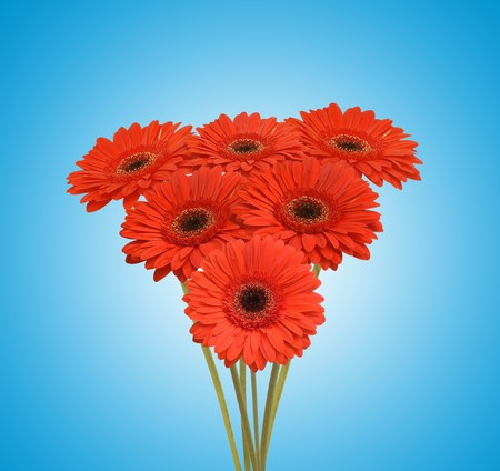 bouquet of red flowers (african daisy) Stock Photo - 7225137