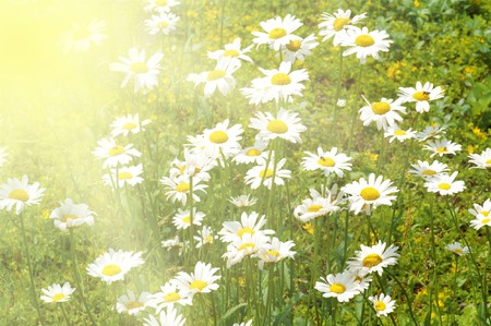 field of white camomiles, outdoor Stock Photo - 7330214
